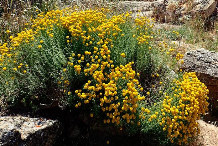 Planta de Santolina chamaecyparissus