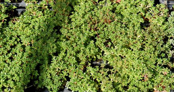 Plantas de Sedum oreganum