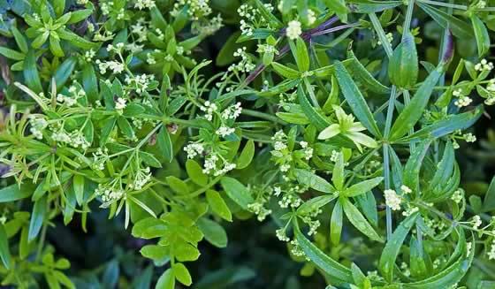Planta de Rubia peregrina