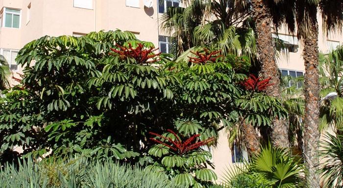 Schefflera actinophylla en el jardín