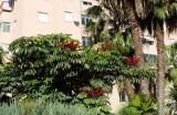 planta de schefflera actinophylla