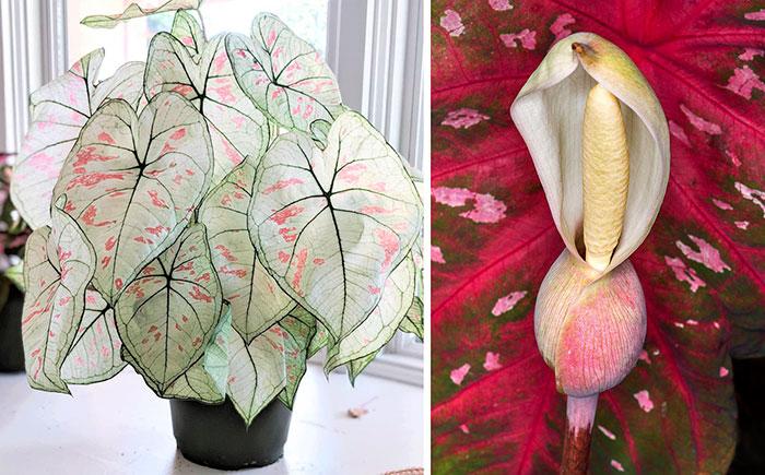 Planta y flor de Caladium