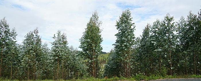 Plantación de eucaliptus