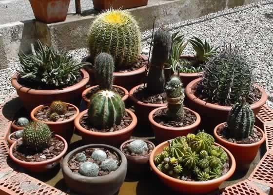 Plantas de cactus en maceta