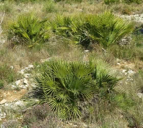 Plantas de Chamaerops humilis