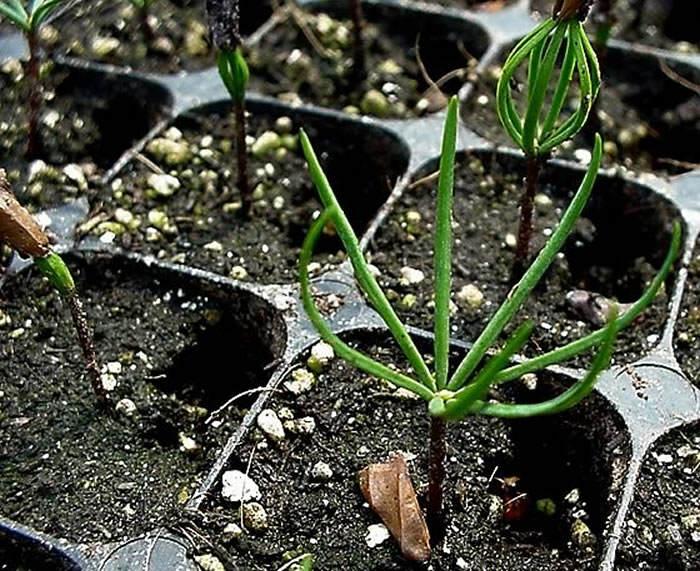 Plantas de abies pinsapo 1