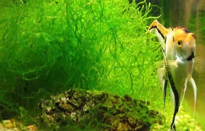 plantas de acuarios