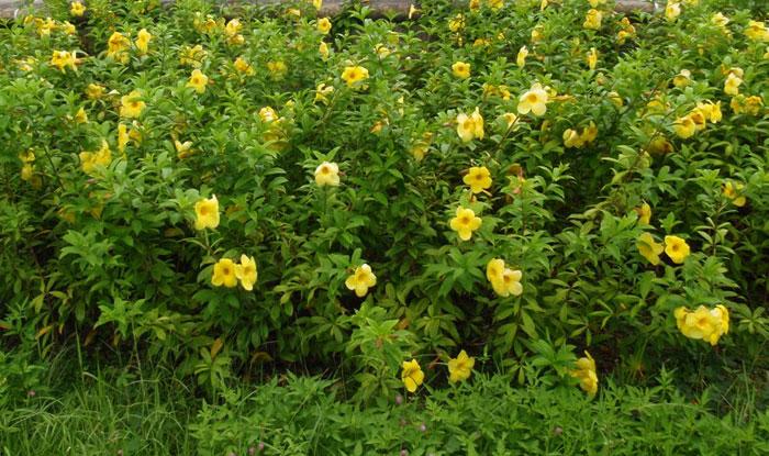 Plantas de Allamanda cathartica
