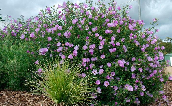 Plantas de Alyogyne delightfully