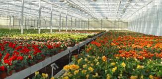 Plantas de Begonia elatior
