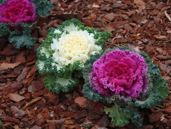 Brassica oleracea en el jard n for Jardineria y plantas