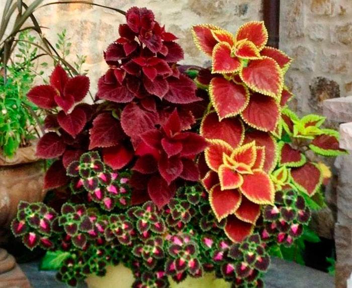 Plantas de Coleos en maceta