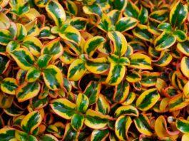 Plantas de Coprosma repens