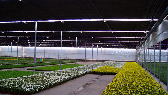 Plantas de Crisantemos en cultivo