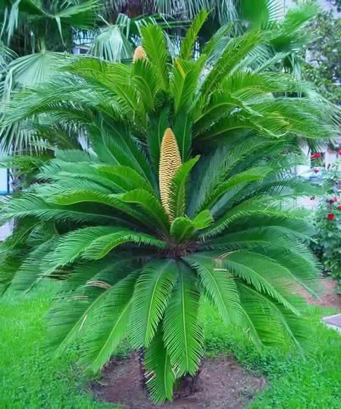 plantas de cycas revoluta