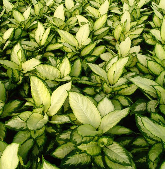 Plantas de Dieffembachia camila