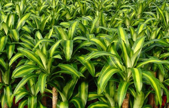 Plantas de Dracaena fragrans Massangeana