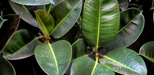 Plantas de ficus robusta