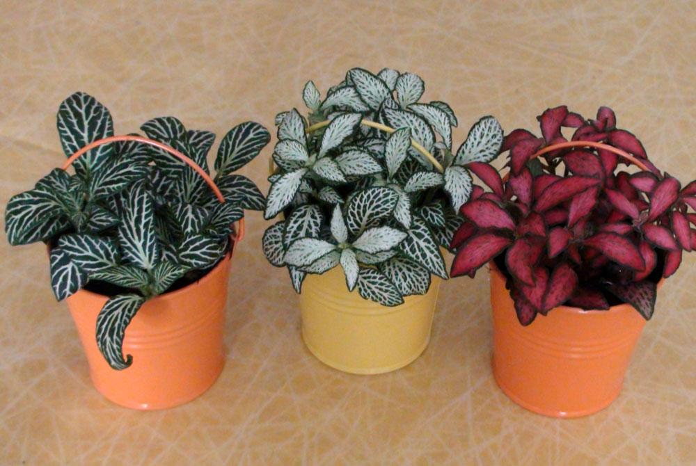 Fitonia fittonia verschaffeltii for Plantas de interior hojas rojas