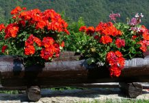 Plantas de geranio
