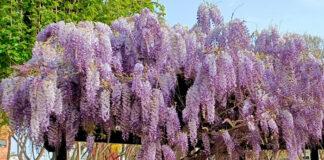 Plantas de Glicinia en el jardín