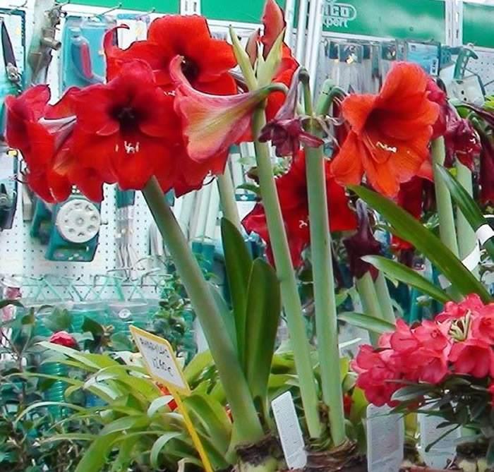 Plantas de Hippeastrum