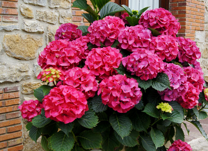 Hortensias revista de flores plantas jardiner a - Plantas para macetas exterior resistentes ...