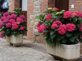 Plantas de hortensia en jardineras
