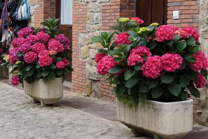 Hortensias - Plantas para jardineras ...