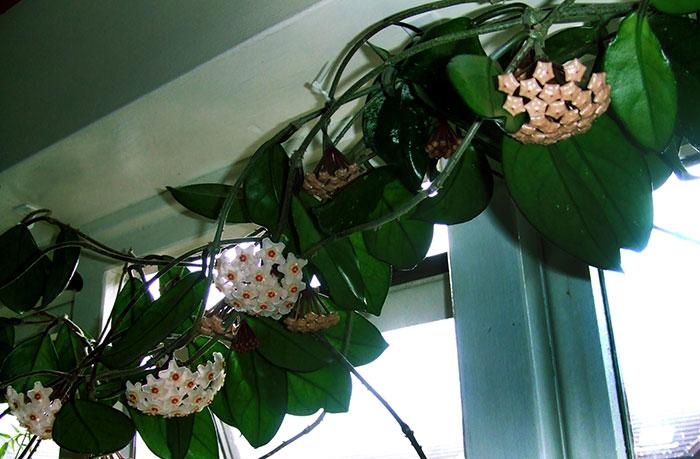 Plantas de Hoya carnosa