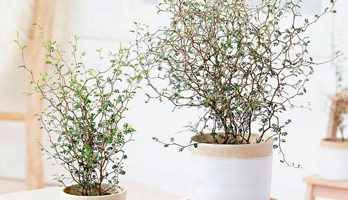 Plantas de Corokia maori