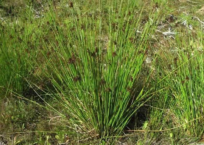 plantas de juncus effusus