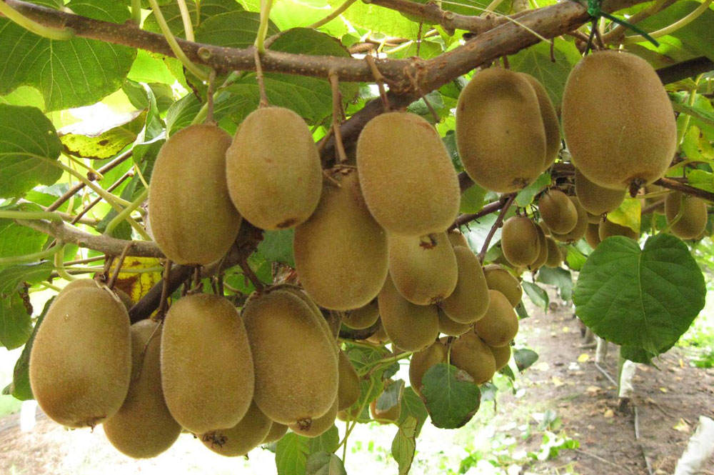 Plantas de kiwi con frutos
