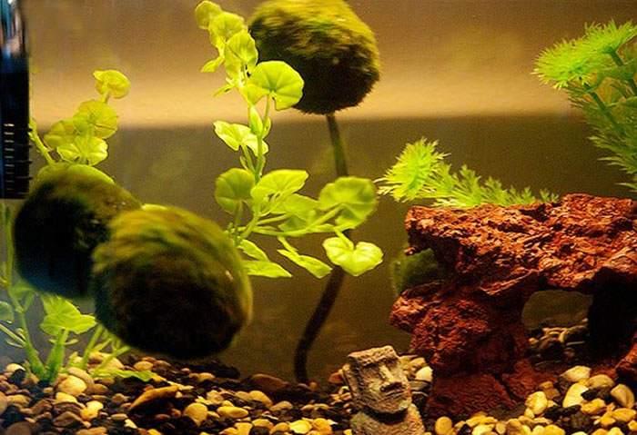 plantas de musgo japones o cladophora aegagropila