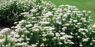 Plantas de Ozothamnus