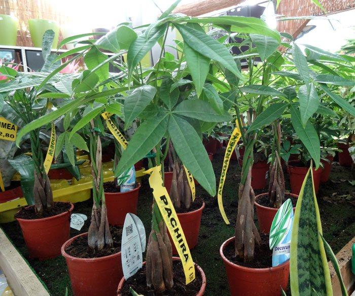 Plantas de Pachira aquatica-