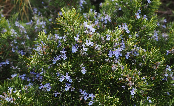 Plantas de Rosmarinus officinalis
