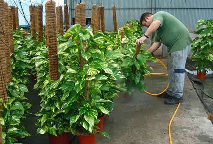 plantas de scindapsus