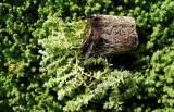 plantas de sedum acre