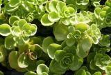 plantas de sedum spureum