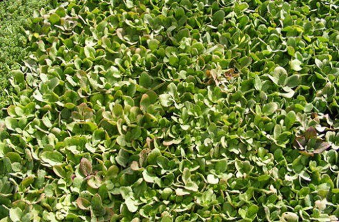 plantas de Sedum telephium