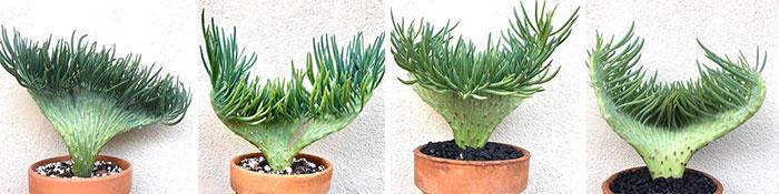 Plantas de Senecio Vitalis