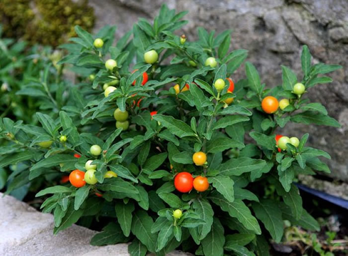 plantas de solanum
