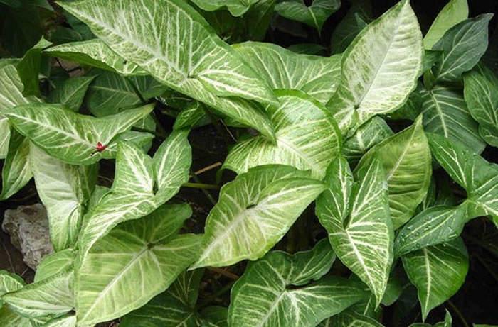 plantas de syngonium