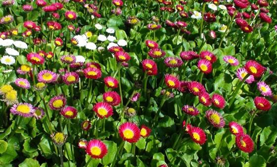 Bellis una planta de temporada de oto o e invierno - Plantas de jardin fotos ...