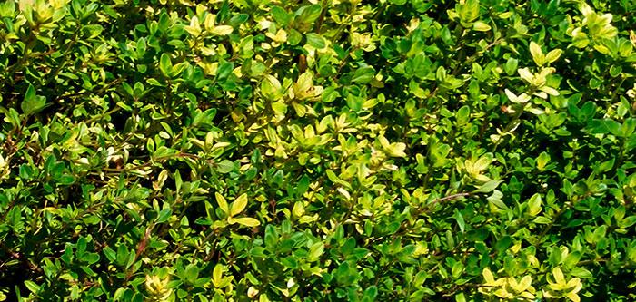 Plantas de Thymus serpyllum