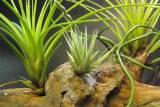 plantas de tillandsias