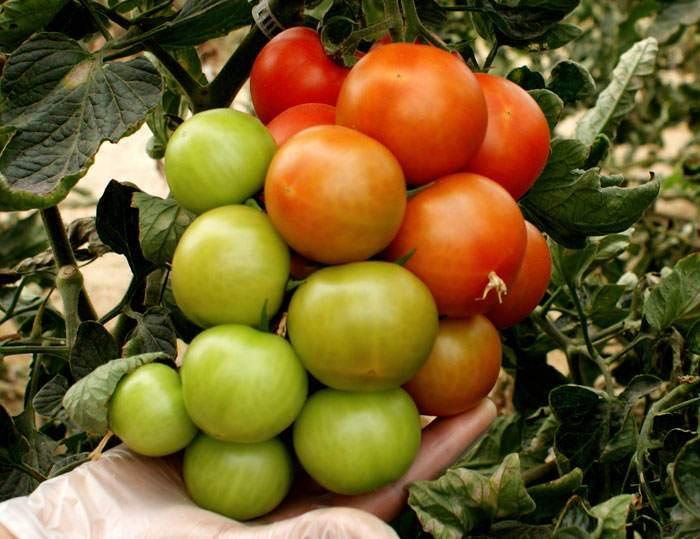 Tomates abonados con Gorfrut