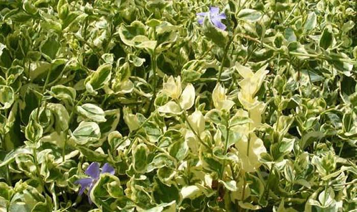 Plantas de vinca major variegata 1