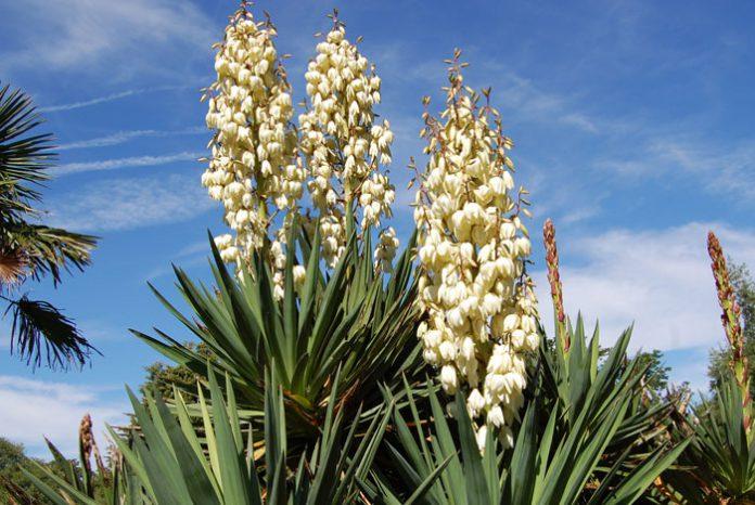 Plantas de Yucca
